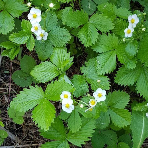 Ahomansikka eli Metsämansikka - Fragaria vesca - Smultron - Pienet valkoiset kukat. Maukkaita mansikoita kasvattava luonnonperenna.