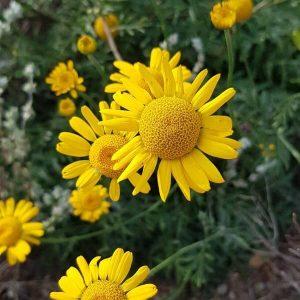Keltasauramo - Anthemis tinctoria - Färgkulla - siemenet