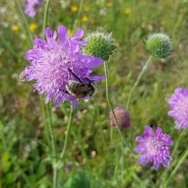 Ruusuruoho niityllä - Knautia arvensis - Åkervädd - Siemenet täältä! Vaalean lilan värinen kukinta houkuttelee perhosia ja kimalaisia.