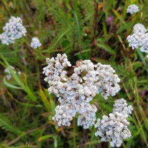 Siankärsämö - Achillea - millefolium - Rölleka - Siemenet täältä!