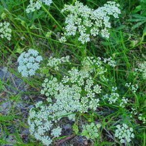 Ahopukinjuuri - Pimpinella saxifraga - Bockrot frön - Luonnonkukkien siemenet.