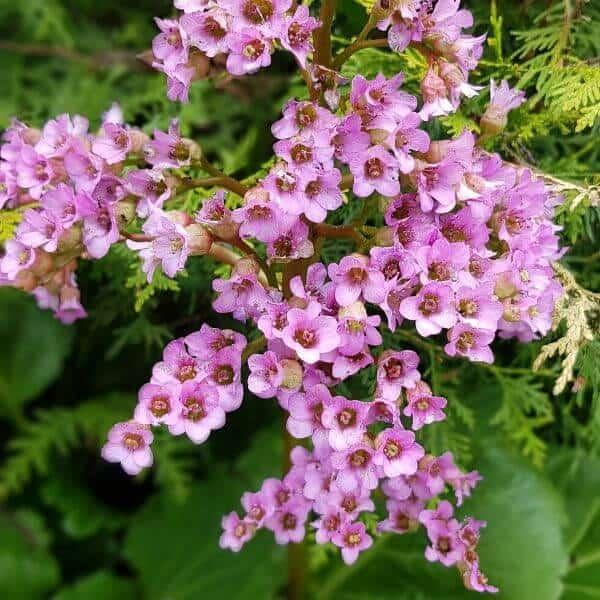 Herttavuorenkilpi - Bergenia dordifolia - Hjärtbergenia frön - Maanpeittokasvien siemenet.