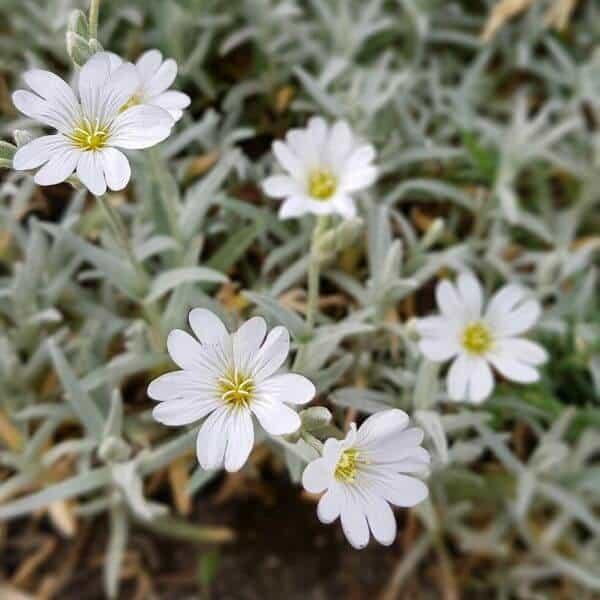 Hopeahärkki - Cerastium tomentosum - Silverarv - Kivikkokasvien siemenet.