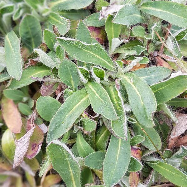 Huopakeltano eli huopavoikeltano - Pilosella officinarum - Gråfibbla frön - Maanpeitekasvien siemenet.