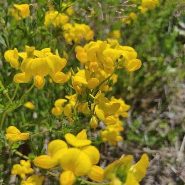 Keltamaite - Lotus corniculatus - Käringtand frön - siemenet.