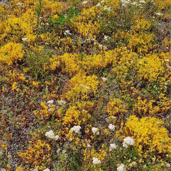 Keltamaksaruoho - Sedum acre - Gul fetknopp frön - Maanpeitekasvien siemenet.
