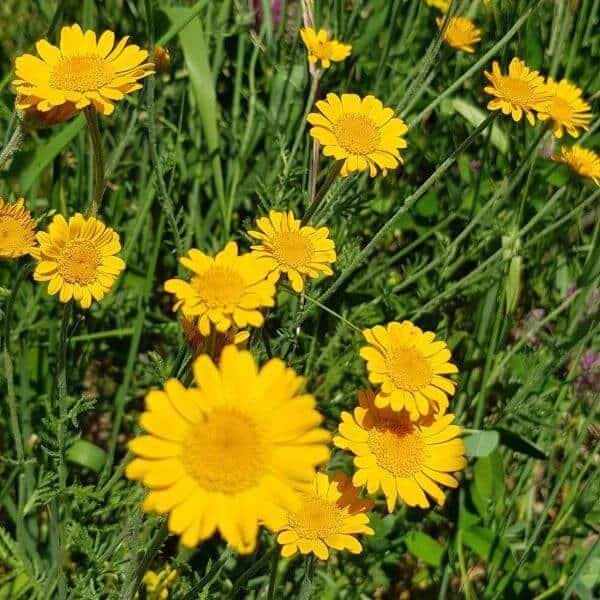 Keltasauramo eli värisauramo - Cota tinctoria - Färgkulla frön - Luonnonkukkien siemenet.