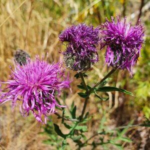 Ketokaunokki - Centaurea scabiosa - Väddklint frön - Luonnonkukkien siemenet.