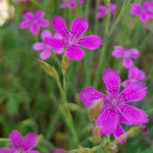 Ketoneilikka - Dianthus deltoides - Backnejlika frön - Luonnonkukkien siemenet.