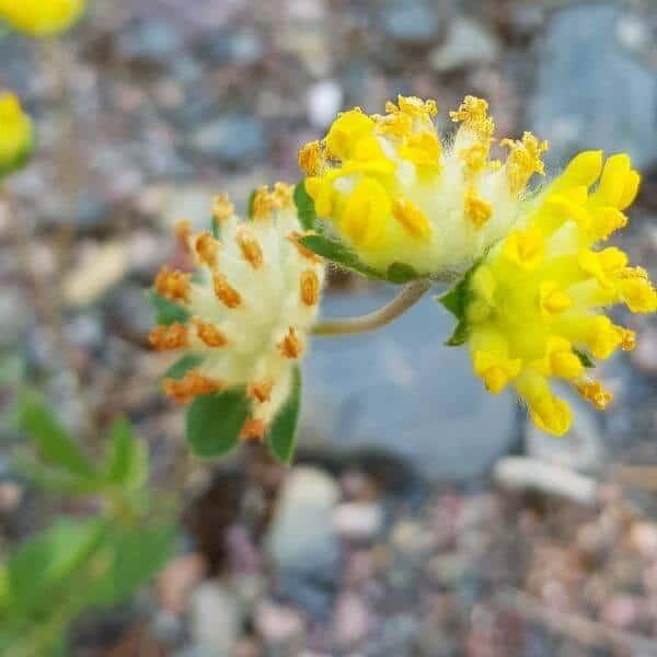 Masmalo - Anthyllis vulneraria - Getväppling frön - Luonnonkukkien siemenet.