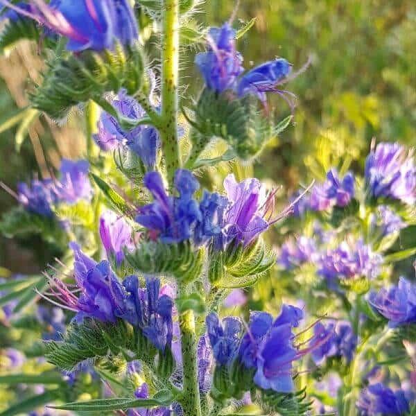 Neidonkieli - Echium vulgare - Blåeld frön - Luonnonkukkien siemenet.