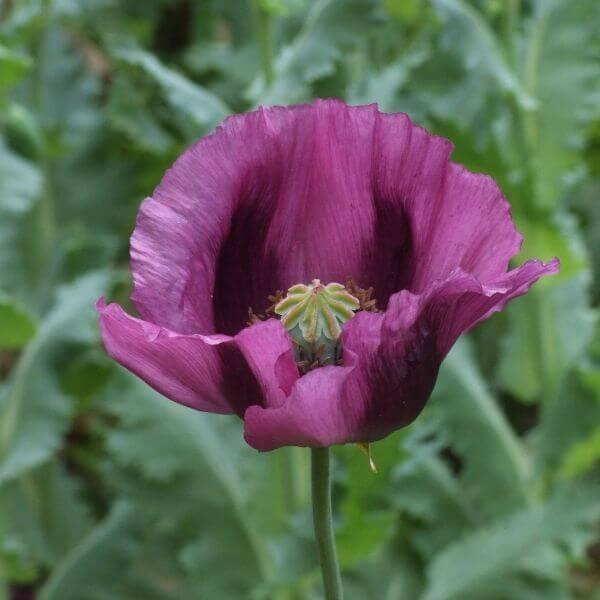 Oopiumunikko Siemenet
