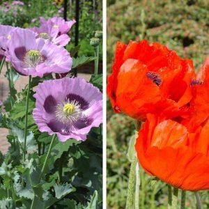 Oopiumunikko - punainen - lila - vaalea lila - Papaver somniferum - Opievallmo frön - Kesäkukkien siemenet.