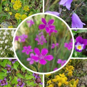Paahdeniitty siemenseos - matalat kasvit - houkuttelevat perhosia ja pörriäisiä.