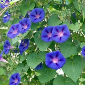 Päivänsini - Ipomoea tricolor- Blomman för dagen frön - Köynnöskasvien siemenet.