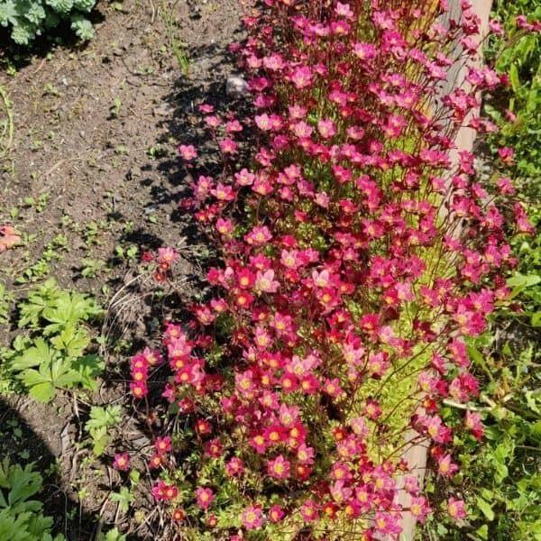 Patjarikko - Saxifraga × arendsi - Rosenbräcka frön - kivikkokasvien siemenet.