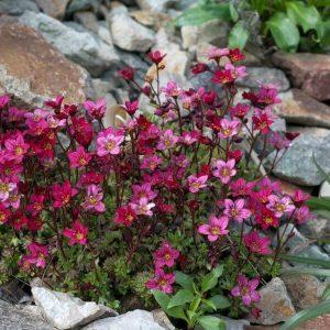 Patjarikko - Saxifraga × arendsi - Rosenbräcka frön - Perennojen siemenet.