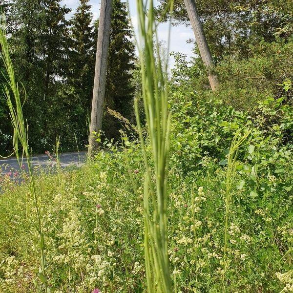 Pölkkyruoho - Arabis glabra - Rockentrav frön - tienpientareella.