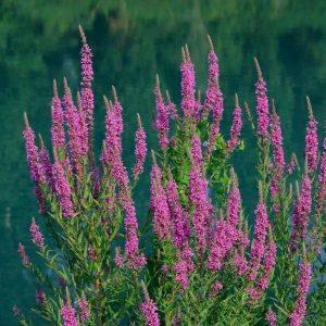 Rantakukka - Lythrum salicaria - Fackelblomster frön - Luonnonkukkien siemenet.