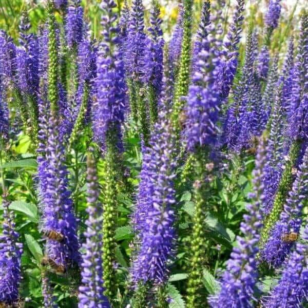 Rantatädyke - Veronica longifolia - Strandveronika fron - Luonnonkukkien siemenet.