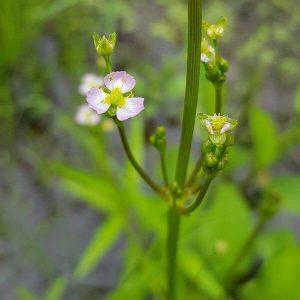 Ratamosarpio - Alisma plantago-aquatica - Svalting frön - vesikasvien siemenet.
