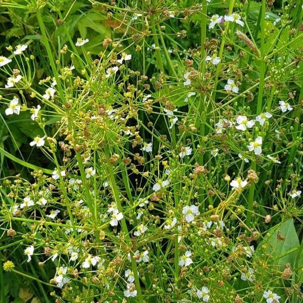 Ratamosarpio - Alisma plantagoaquatica - Svalting frön - Vesikasvien siemenet.