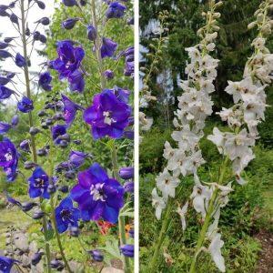 Ritarinkannus - sininen - valkoinen - Delphinium - Riddarsporre - Perennojen siemenet.