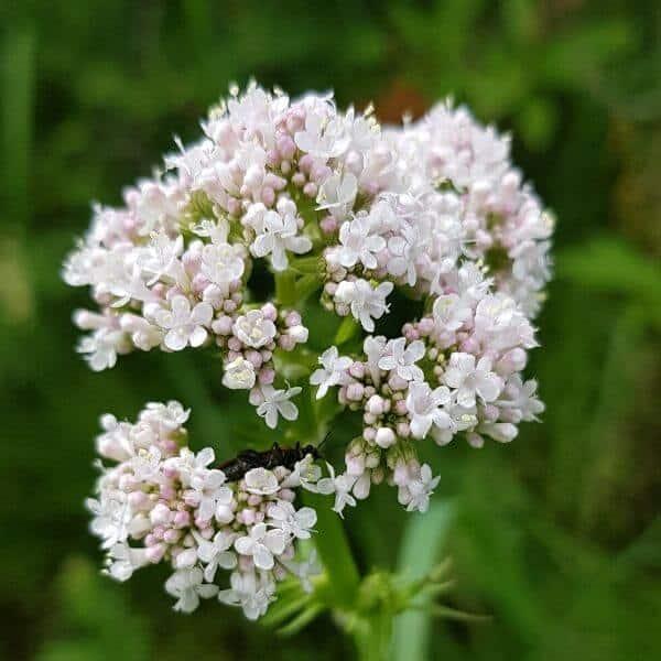 Rohtovirmajuuri - Valeriana officinalis - Läkevänderot - Luonnonkukkien siemenet.