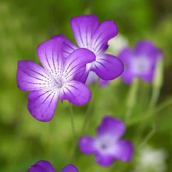 Siroaurankukka - Agrostemma gracilis - Agrostemma brachylobum - Kesäkukkien siemenet.