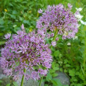 Ukkolaukka - Allium hollandicum - Purpurlök frön - Sipulikasvien siemenet.