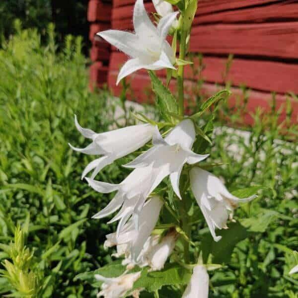 Ukonkello valkoinen - Campanula latifolia - Vit Hässleklocka frön - Perennojen siemenet.