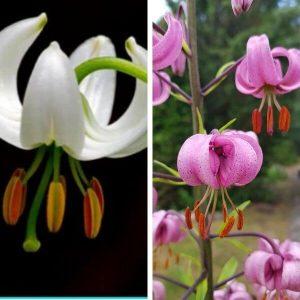 Varjolilja valkoinen - vaaleanpunainen - Lilium martagon - Krollilja frön - Perennojen siemenet.
